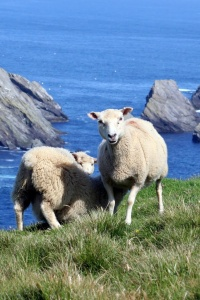 Sheep and birds of the Shetlands