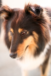 Nelly The Shetland Sheep Dog